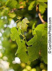 Novo, uva, folhas