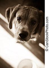 Hungry Beagle