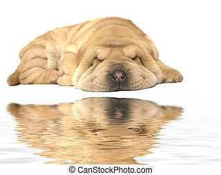 sleeping sharpei puppy - A young sharpei pup sleeping on the...