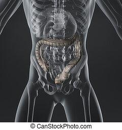 grande, intestino