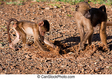 Baby baboon playing with mother brown scratch in morning sun
