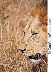 Male lion walk in brown gras