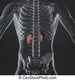 Adrenal Glands - An Illustration of a man's anatomy showing...