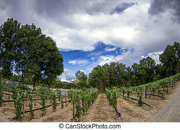 New Mexico Vineyard - Expansive view of rows of grape vines...