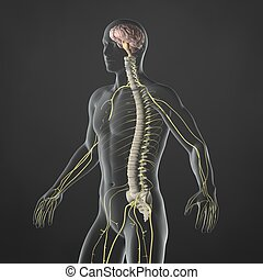 Nervous System - An Illustration of a mans anatomy showing...