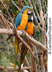 Blue And Gold Macaw - The Blue-and-yellow Macaw Ara...