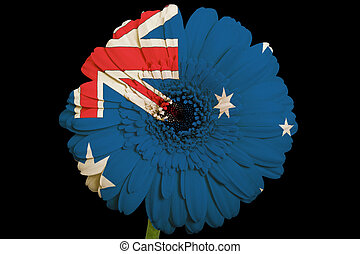 gerbera daisy flower in colorsnational flag of australiaon...