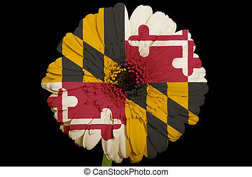 gerbera daisy flower in colorsflag of us state of marylandon...