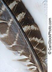 Wild Turkey Feather on White