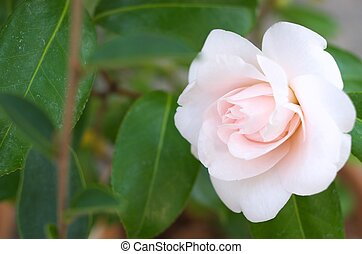white camellia - this photo is taken in Nagoya city