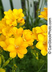 yellow freesia - this photo is taken in Nagoya city