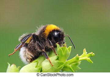 Bumble-bee, sentando, verde, folha