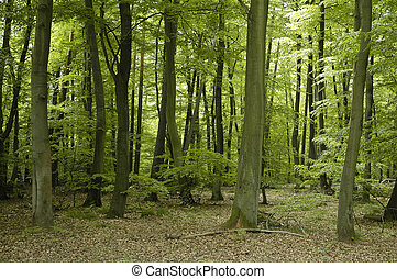 french oak and beech forest trees - Oak and beech forest...