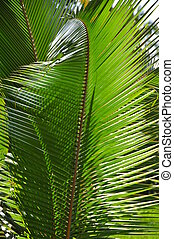 Coconut Palm Leaf - Stock Photo - Pattern of green coconut...