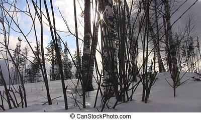 Birch trees in winter forest