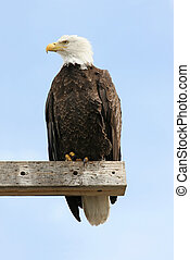 Adult Bald Eagle haliaeetus leucocephalus on a perch against...