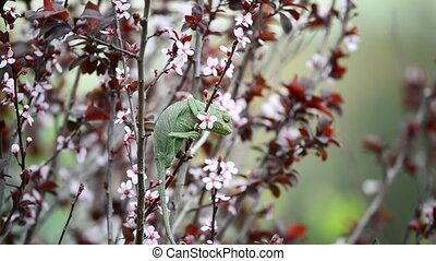 Chameleon eats his lunch