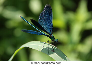 Blue dragonfly, captured by the river