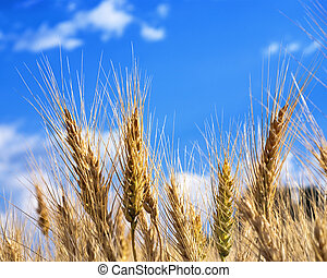 Wheat and Sky - Golden wheat growing in the Palouse Country...