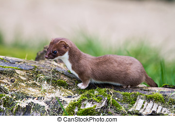 Weasel - Least Weasel (Mustela nivalis) hunting for food
