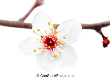 Branch with blossoms. Isolated on white background. - Branch...