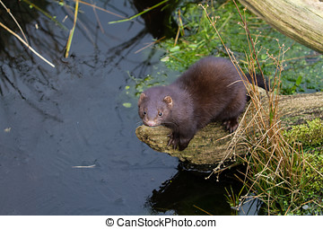 Mink mustela vison standing on a log