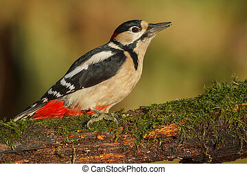 Greater spotted woodpecker, Dendrocopos major, licking his...