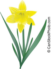 Daffodil - A vecror image of a spring-flower