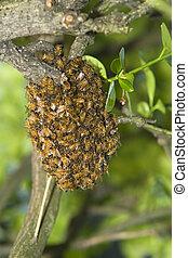 mel, abelha, enxame