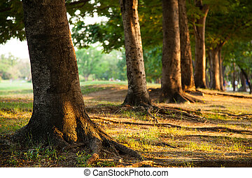 Trees in a row. In the park in the evening. The sun began to...
