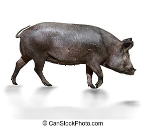 Wild Pig - Dark Brown Pig On White Background