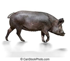selvagem, porca