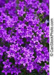 small purple flower field - this photo is taken in Nagoya...
