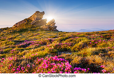 flower - Magic pink rhododendron flowers on summer mountain....