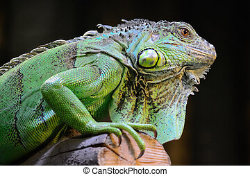 Iguana - Closeup Of An Iguana Resting On A Tree
