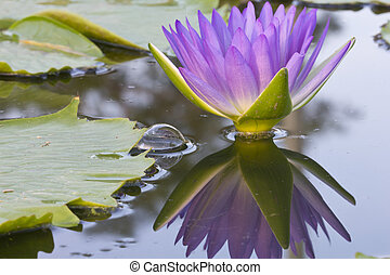 lotus flower - Picture of a pink lotus flower with...