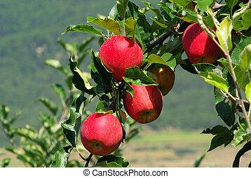 apple on tree 42