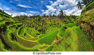 Green rice cirque - Rice terraces at Bal, Indonesia