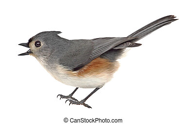 Tufted Titmouse Isolated - Tufted titmouse, Baeolophus...