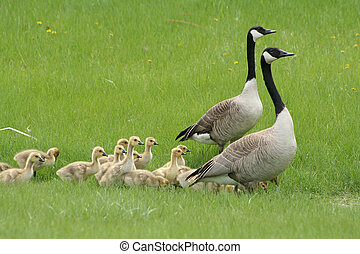 Two Canada Geese with Goslings - Two adult Canada Geese...