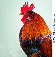 cerrado, Arriba, hermoso, rojo, gallo