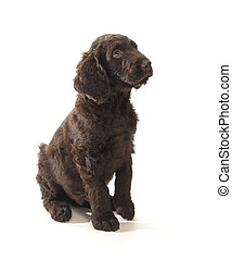 Brown Labradoodle - Brown labradoodle looking up sitting on...