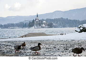 Lake Bled, Bled, Slovenia - Lake Bled with ducks and pier,...