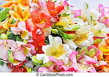 variegated Alstroemeria Lily Spray isolated on white
