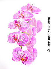 rosy beautiful orchid spray isolated on white background -...