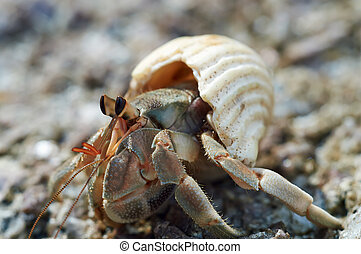 Hermit crab close-up on a background of stone