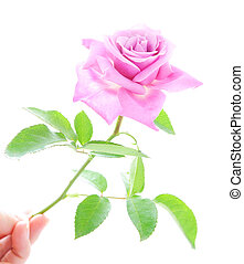 Beautiful pink rose with green leaves isolated on the white...