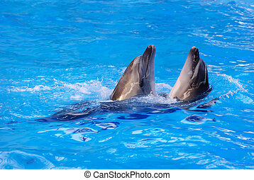 Two dolphins swim in the pool water