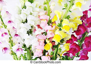 variegated antirrhinum snapdragon flower background -...