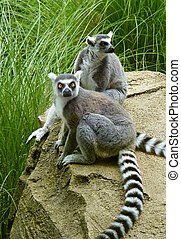 Two Lemur Animals - Two lemurs at a zoo are sitting on a...